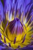 Lotus púrpura Fotografía de archivo libre de regalías