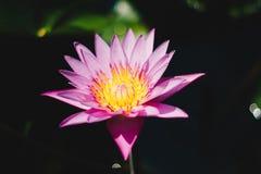 Loto hermoso rosado de la flor de Lotus Fotos de archivo libres de regalías