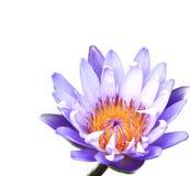 Loto hermoso (sola flor de loto Imagenes de archivo