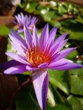 Loto púrpura imagenes de archivo