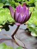 Loto púrpura Foto de archivo libre de regalías