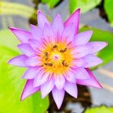 Loto púrpura Imágenes de archivo libres de regalías