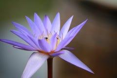 Loto púrpura Imagen de archivo libre de regalías
