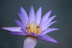 Loto púrpura Fotos de archivo libres de regalías