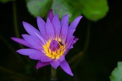 Loto púrpura Fotografía de archivo