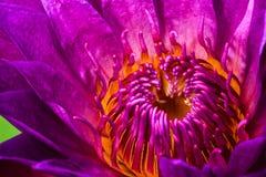 Loto púrpura Fotografía de archivo libre de regalías