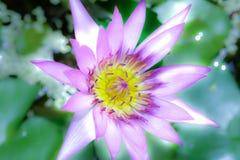 Loto púrpura blanco y polen amarillo en estilo de la fantasía Imagen de archivo