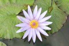Loto púrpura colorido con la abeja en tiro macro Fotos de archivo