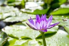 Loto púrpura con con la abeja Imagen de archivo