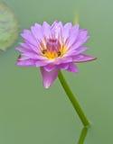Loto púrpura con la abeja Fotografía de archivo