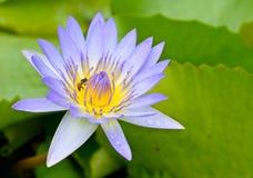 Loto púrpura con la abeja Imágenes de archivo libres de regalías