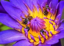 Loto púrpura con la abeja de la miel Imagen de archivo
