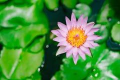 Loto púrpura con la flor verde en la piscina Imagen de archivo