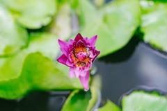 Loto púrpura con la flor y las abejas verdes en la piscina Imágenes de archivo libres de regalías