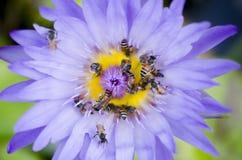 Loto púrpura con las abejas Imágenes de archivo libres de regalías