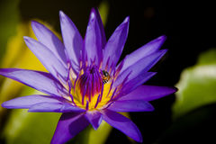 Loto púrpura con una abeja Imágenes de archivo libres de regalías