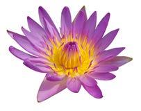 Loto púrpura del flor aislado en blanco imagenes de archivo