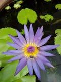 Loto púrpura del flor con las abejas Imagenes de archivo