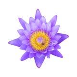 Loto púrpura en blanco Imagen de archivo