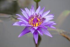 Loto púrpura en el río Fotografía de archivo libre de regalías