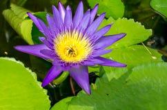 Loto púrpura en la charca Imagen de archivo libre de regalías
