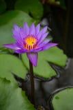 Loto púrpura en la charca con las abejas Fotografía de archivo libre de regalías