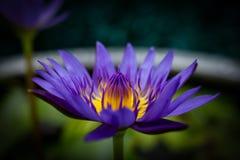 Loto púrpura en una tina usada para el cultivo del loto Imagenes de archivo