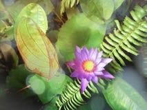 Loto púrpura floreciente Fotografía de archivo