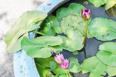 Loto púrpura floreciente con la pequeña abeja en la charca en casa Fotos de archivo libres de regalías