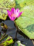 Loto púrpura fresco con la pequeña abeja Fotos de archivo libres de regalías