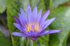 Loto púrpura hermoso Fotografía de archivo libre de regalías