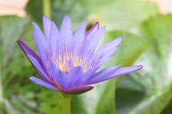 Loto púrpura hermoso Fotos de archivo