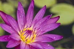 Loto púrpura hermoso con gota del agua Imagen de archivo