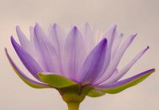 loto púrpura romántico Imágenes de archivo libres de regalías