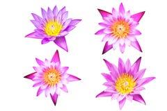 Loto púrpura y rosado Imágenes de archivo libres de regalías
