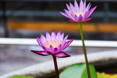 Loto púrpura y rosado Imagen de archivo