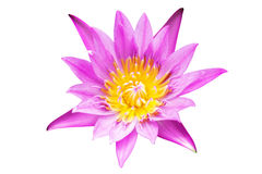 Loto púrpura y rosado Foto de archivo libre de regalías