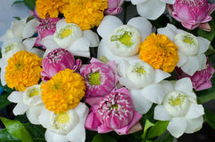 loto plegable hermoso Imagen de archivo libre de regalías