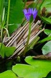 Loto porpora in acqua Fotografia Stock