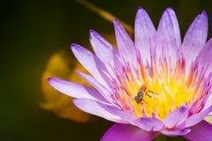 Loto porpora con le api Fotografia Stock