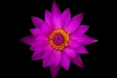 Loto porpora di vista superiore e polline giallo Fotografia Stock