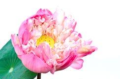 Loto rosa fotografia stock
