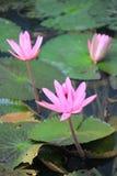 Loto rosa Immagini Stock