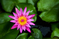 Loto rosa Fotografia Stock Libera da Diritti