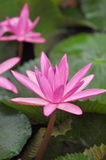 Loto rosa Fotografie Stock