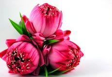 Loto rosa fotografie stock libere da diritti