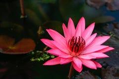 Loto rosa del fiore di Lotus bello. Immagini Stock Libere da Diritti
