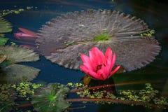 Loto rosa del fiore di Lotus bello. Fotografia Stock Libera da Diritti