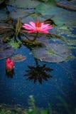 Loto rosa del fiore di Lotus bello. Immagini Stock