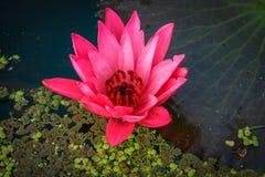 Loto rosa del fiore di Lotus bello. Fotografia Stock